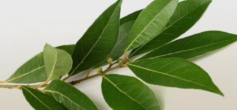 Le proprietà benefiche delle foglie di alloro