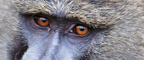 Riflessioni civili e incivili di un babbuino sull'eutanasia